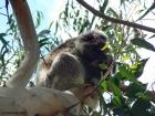 Kangaroo Island 'locals'