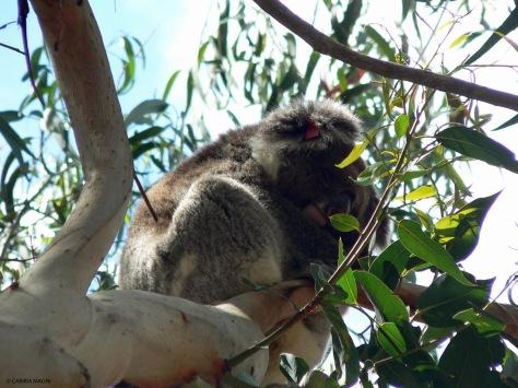 Kangaroo Island: ecco i locals!