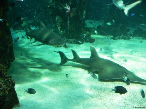 Sharks @Sydney aquarium