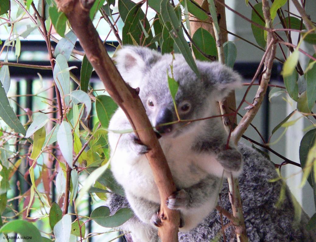 baby koala australia zoo