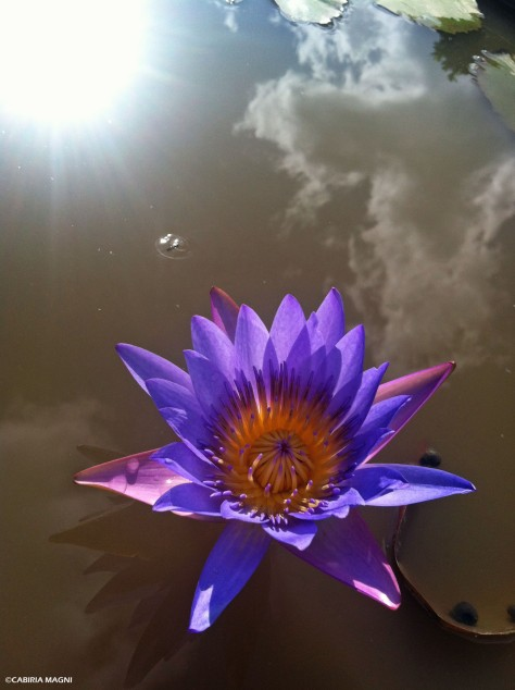Lotus flower. Picture taken in Phnom Penh Royal Palace