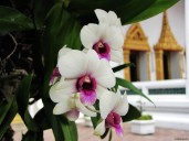 Orchids in Wat Pho