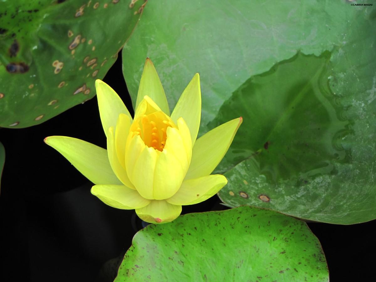 Parlando di tatuaggi: il mio mandala, con un fiore di loto
