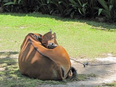 Yoga Cow ashram