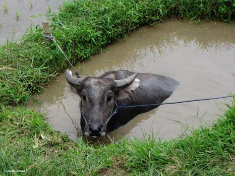 Jatiluwih rice terraces, buffalo, Cabiria Magni