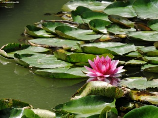 Fiori di loto al tempio di Confucio. Cabiria Magni