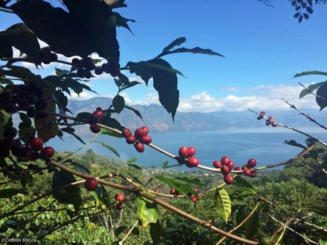 Salire sul vulcano San Pedro, bacche di caffè