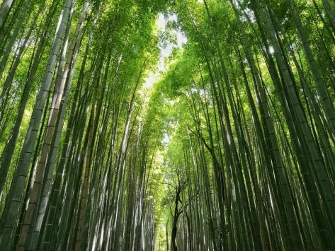 La foresta di bambù di Arashiyama. Kyoto, Giappone, Cabiria Magni
